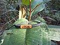 As Folhas de um tipo de Árvore da amazonica.JPG