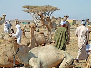 Shalateen - Camel market in Shalateen
