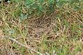 Ashy-crowned Sparrow Lark (Eremopterix grisea) nest W IMG 0863.jpg