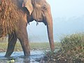 Asian Elephant Safari in Chitwan National Park, Chitwan, Nepal (Elephas Maximus Indicas) 02.jpg