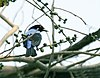Asian Fairy Bluebird (Irena puella) on Peepal (Ficus religiosa) at Jayanti, Duars, WB W Picture 439