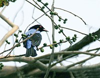 Asian Fairy Bluebird (Irena puella) on Peepal (Ficus religiosa) at Jayanti, Duars, WB W Picture 439.jpg