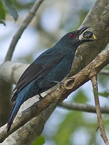 Asian Fairy Bluebird f MG 0027 GarimaBhatia (cropped).jpg