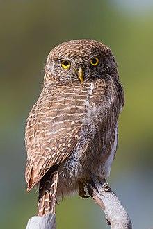 asian barred owlet wikipedia