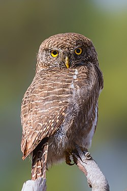 Asian barred owlet - Prasanna Mamidala.jpg