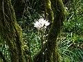 Asphodelus albus.002 - Fragas do Eume.jpg