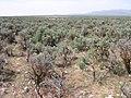 Astragalus atratus var. inseptus habitat in SW Idaho 3.jpg