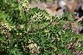 Astragalus schelichowii (Fabaceae) (36017618172).jpg