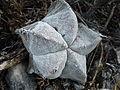 Astrophytum myriostigma (5699245305).jpg
