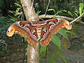Attacus atlas - Atlas moth at Peravoor 2017 (16).jpg