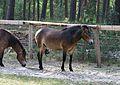 Augustdorf - 2016-05-21 - LIP-002 Exmoor-Ponys (038).jpg