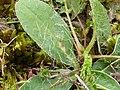 Aulacidea pilosellae (NATT-at-NKM)2.jpg