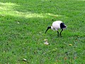 Australian White Ibis - Sydney, Australia (9533458768).jpg