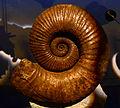 Australiceras Jackii Musée des Confluences 18 10 2015 1.jpg