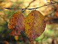 Autumn leaves (7104073907).jpg