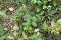 BL - Bodman - Ruine Altbodman - Euphorbia cyparissias 01 ies.jpg