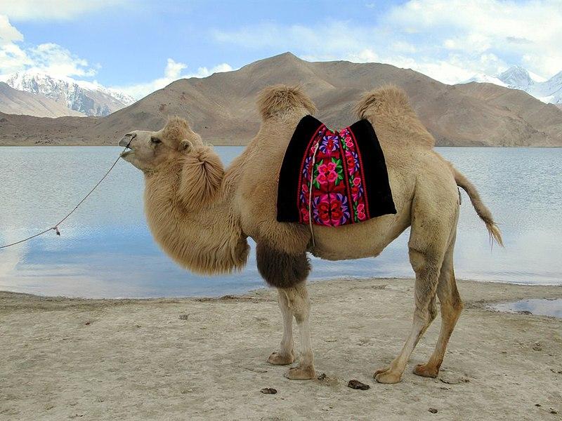 File:Bactrian Camel (39923800810).jpg
