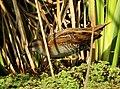 Baillon's Crake Porzana pusilla by Dr. Raju Kasambe DSCN3079 (33).jpg