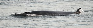 Common minke whale - Minke whale in the Saguenay–St. Lawrence Marine Park, showing the blowholes and dorsal fin at the same time