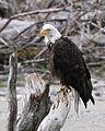 Bald Eagle (1751271668).jpg