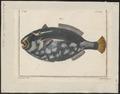 Balistes conspicillum - 1700-1880 - Print - Iconographia Zoologica - Special Collections University of Amsterdam - UBA01 IZ15400061.tif