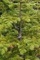 Balsam Fir (Abies balsamea) - Port Rexton, Newfoundland 2019-08-14 (02).jpg