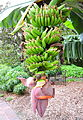 Banana, Musa acuminata - the wild form is native to southeastern Asia. (16475309014).jpg