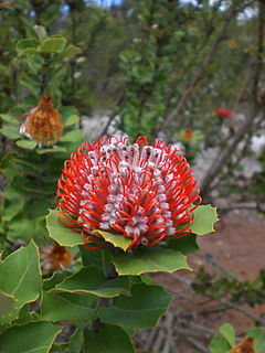 <i>Banksia coccinea</i> An erect shrub or small tree in the family Proteaceae native to the south west coast of Western Australia