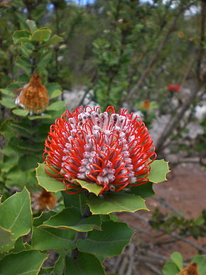 Description de l'image Banksia_coccinea_-_Little_Grove.jpg.