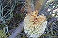 Banksia grossa 6 nofbadgingarra orig.JPG