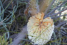 a golden ovoid bud in front of foliage and a greyish hairy ovoid flower spike behind