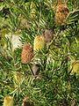 Banksia marginata (16451561819).jpg