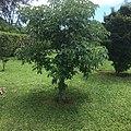 Baobá no Lago Sul, em Brasília.jpg