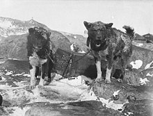 Two large dogs with dark, heavy fur stand on snow and rock. They are chained to a crate and face the camera.