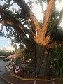 Baum in St. Augustin.jpg