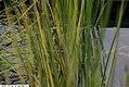 Baumea rubiginosa Variegata 2zz.jpg