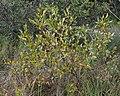 Bay Willow (Salix pentandra) - Oslo, Norway 2020-09-05 (02).jpg