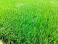 Beautiful Paddy Field 2.jpg