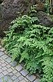 Begonia foliosa var miniata 02.jpg