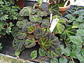 Begonia glaziovii - Lyman Plant House, Smith College - DSC04205.JPG