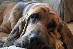 Bella the Saint-Hubert Bloodhound relaxes.jpg