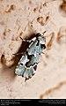 Beloved Emarginea Moth (Noctuidae, Emarginea percara) (30537114311).jpg