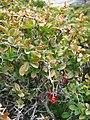 Berberis aetnensis.jpg