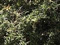 Berberis chilensis.jpg