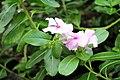 Berlin-Dahlem, botanischer Garten, Catharanthus roseus.JPG