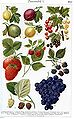 Berries in Brockhaus.jpg