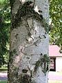 Betula papyrifera bark 3-jgreenlee (5097477409).jpg