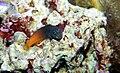 Bicolor blenny Ecsenius bicolor.jpg