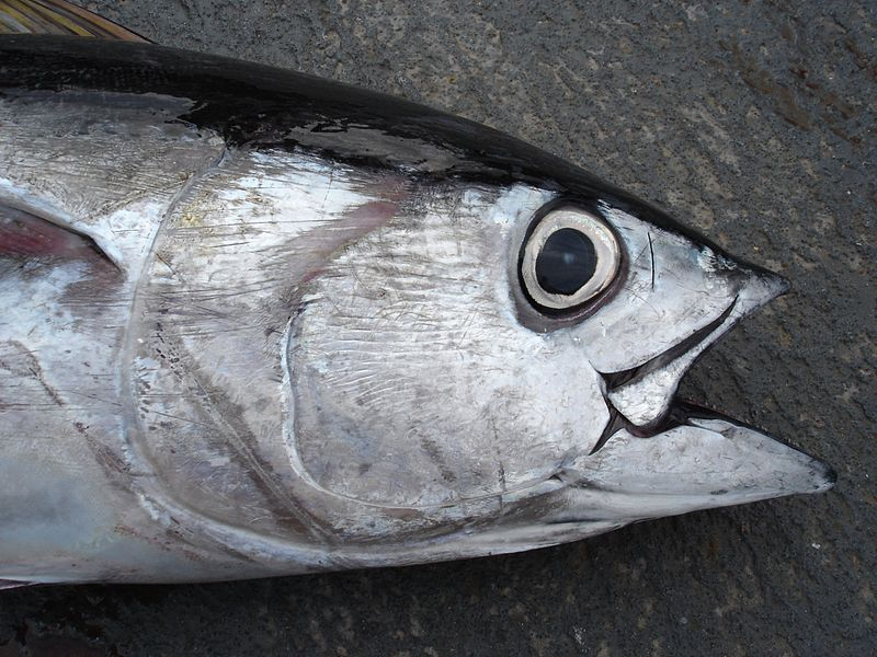 File:Bigeye tuna close up.jpg