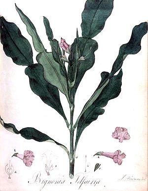 Charles Telfair - Bignonia telfairia
